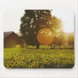 Sunflower Field At Sunset With A Barn Mouse Mat