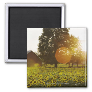 Sunflower Field At Sunset With A Barn Square Magnet