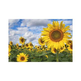 Sunflower Field Canvas 11.75 in x 18 in.