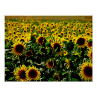 Sunflower field canvas poster