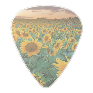 Sunflower Field in Longmont, Colorado Acetal Guitar Pick