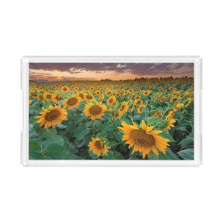 Sunflower Field in Longmont, Colorado Acrylic Tray