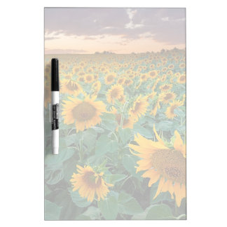 Sunflower Field in Longmont, Colorado Dry Erase Board