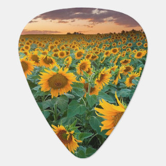 Sunflower Field in Longmont, Colorado Guitar Pick