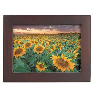 Sunflower Field in Longmont, Colorado Keepsake Box
