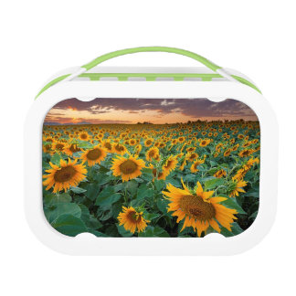 Sunflower Field in Longmont, Colorado Lunch Box