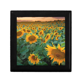 Sunflower Field in Longmont, Colorado Small Square Gift Box