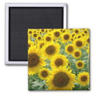 Sunflower Field Magnet