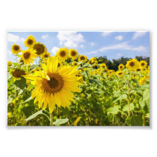 Sunflower Field Photo Print