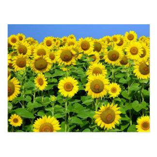 Sunflower Fields Post Cards