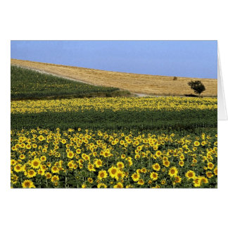 Sunflower fields, Tuscany, Italy Greeting Card