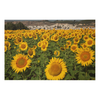 Sunflower fields, white hill town of Bornos Wood Print
