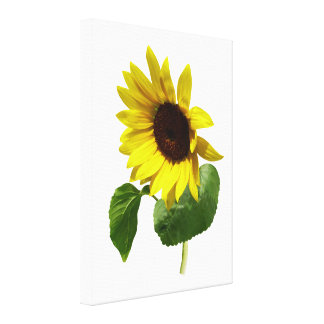 Sunflower Gazing Down Stretched Canvas Prints