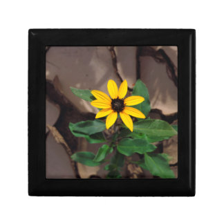 Sunflower growing from Cracked Mud Gift Box