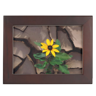 Sunflower growing from Cracked Mud Keepsake Box