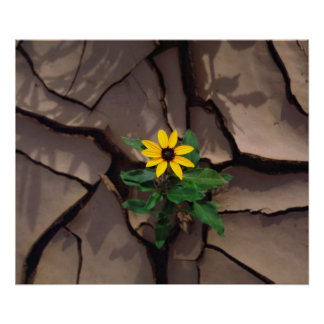 Sunflower growing from Cracked Mud Poster