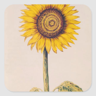 Sunflower or Helianthus Square Sticker