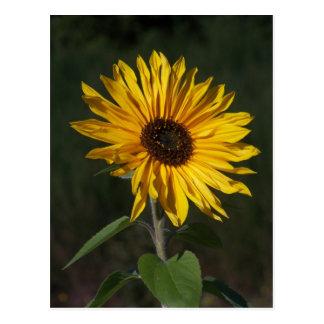 Sunflower Perfect Postcard