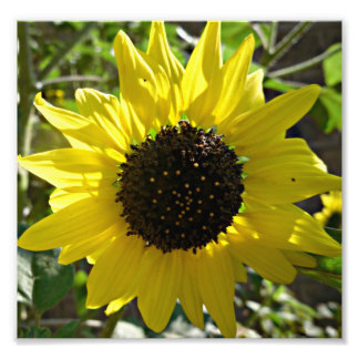 Sunflower plant Helianthus annuus Photo Print