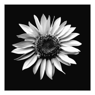 'Sunflower Portrait' Photographic Print