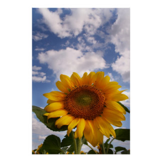 Sunflower Sky Poster