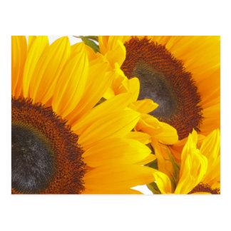 Sunflower Triplettes Postcards