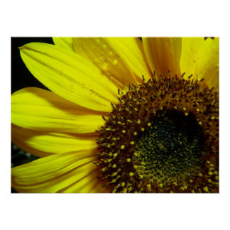 Sunflower Up Close Posters