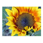 Sunflower with Water Droplets Postcard