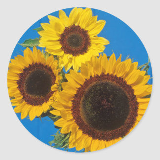 Sunflowers against blue fence classic round sticker