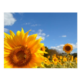 Sunflowers and sunshine postcard