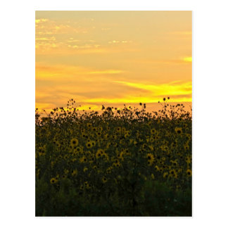 Sunflowers at Dusk Postcard