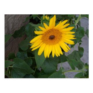 Sunflowers Bright Yellow Sunny Sunflowers Postcard