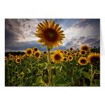 Sunflowers Cards