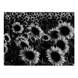 Sunflowers field in black and white postcard