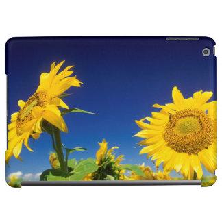 Sunflowers (Helianthus Annuus), Near Senekal