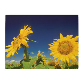 Sunflowers (Helianthus Annuus), Near Senekal Wood Wall Decor