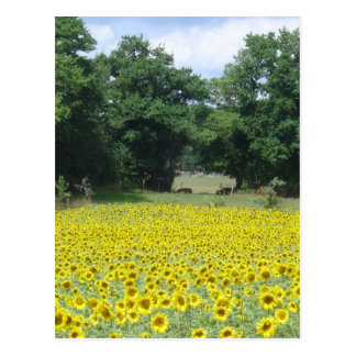 Sunflowers in Limousin Postcard
