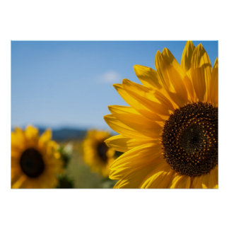 Sunflowers on the field poster