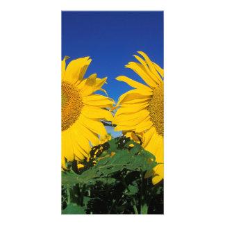 Sunflowers Photo Cards