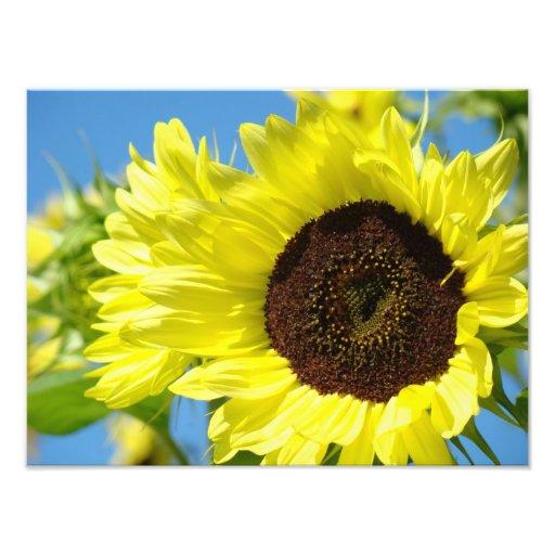 Sunflowers Photography Fine Art Prints nature Art Photo