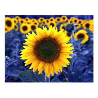 Sunflowers Postcard