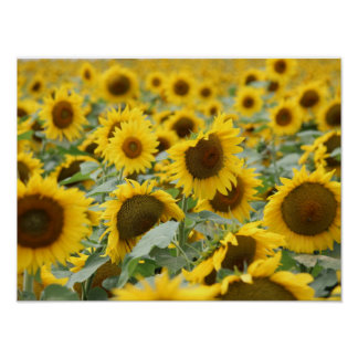-SUNFLOWERS- POSTER