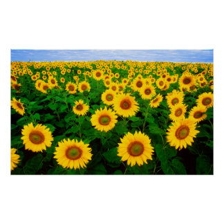 Sunflowers Poster (LARGE)
