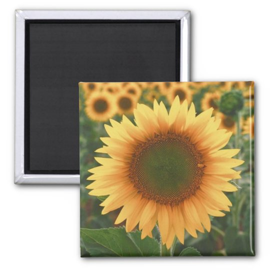 Sunflowers Square Magnet