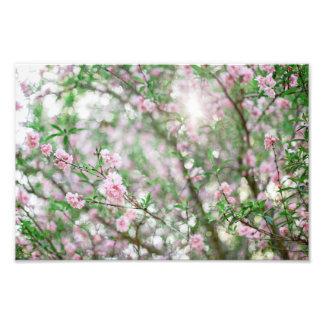 Sunlight through Cherry Blossoms Art Photo