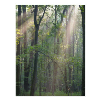 Sunlight Through Forrest Postcard