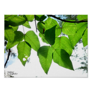 Sunlit birch leaves Poster or Print