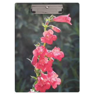 Sunlit Pink Penstemon Flower Clipboard