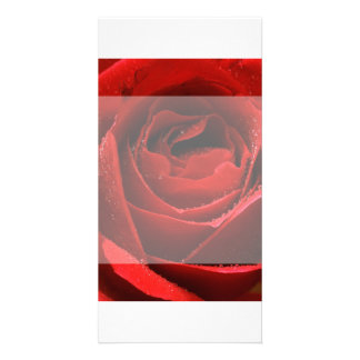 Sunlit Rose Picture Card
