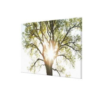 Sunlit Tree Canvas Print